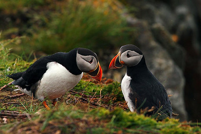 Puffins... also referred to as Rockets.  They are amazing to watch.