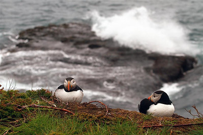 More puffins.
