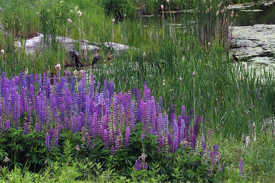 Side of the road - lupines