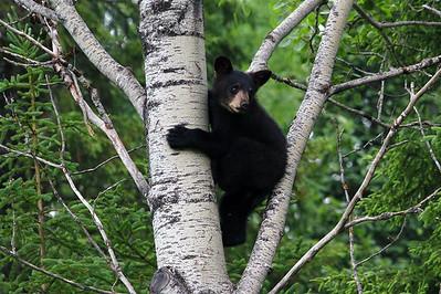 Black bear cub - Pukaskwa National Park