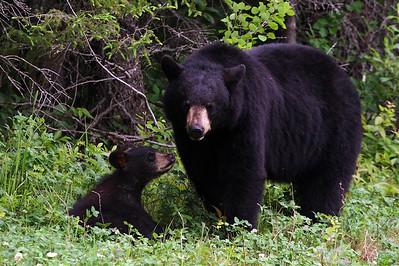 Black bears - Pukaskwa National Park