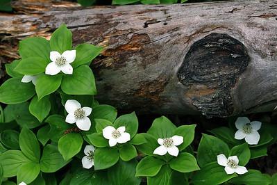 Dogwood - Pukaskwa National Park