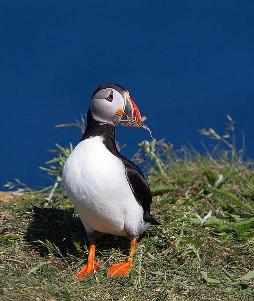 Atlantic Puffin with Vegetation in Beak