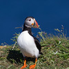 Atlantic Puffin with Vegetation in Beak