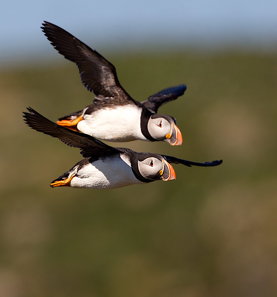 Atlantic Puffins in Flight