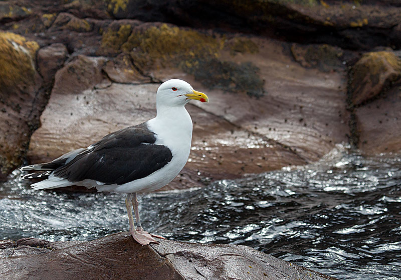 Herring Gull Breeding Plumage