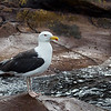 Herring Gull Breeding Plumage