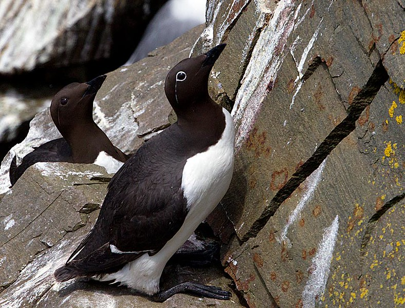 Common Murre on Cliffside