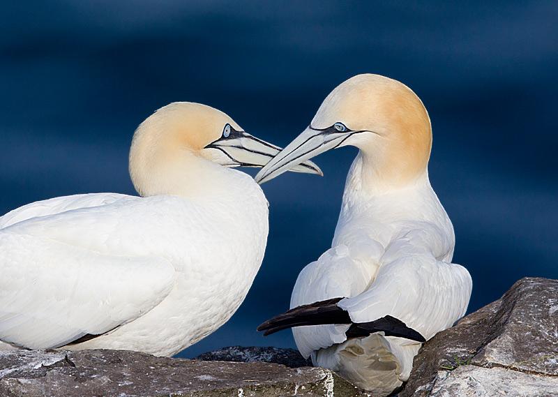 Northern Gannett Courtship Behavior 2