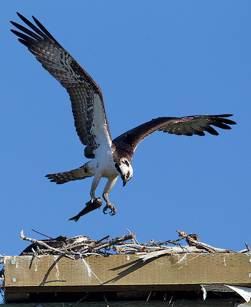 Osprey with Fish Landing in Nest