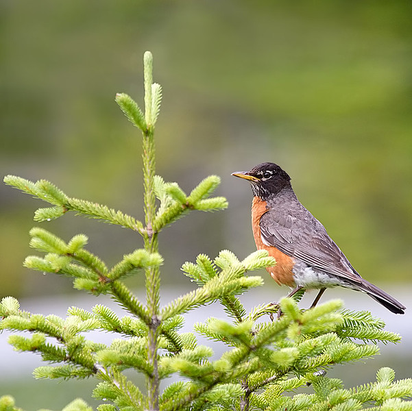 American Robin Peched in Young Pine Tree