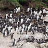 Common Murres Huge Flock