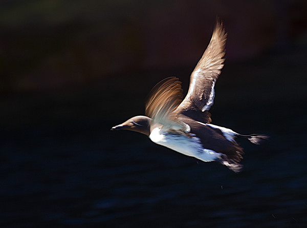 Common Murre Taking Off