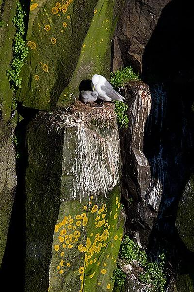 Black legged KIttiwake and Chick on Cliff Edge