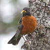 American Robin with Insects in Beak