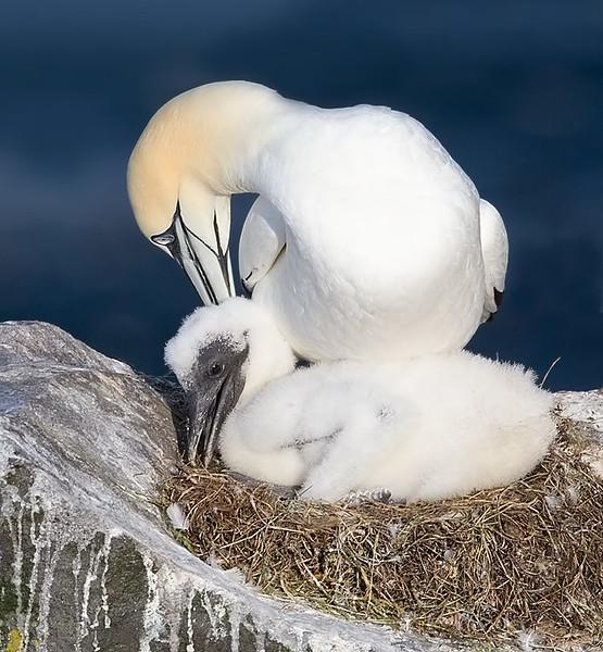 Northern Gannett Chick in Nest