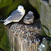 Black legged KIttiwake and Chick in Cliff Cavity