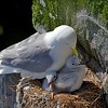 Black legged Kittiwake sitting on Nest with Two Chicks