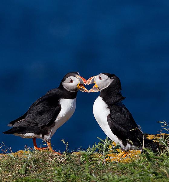 Atlantic Puffins Interacting