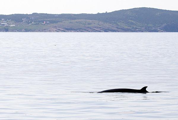 Minke Whale Witless Bay