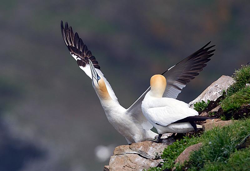 Northern Gannett Courtship Display