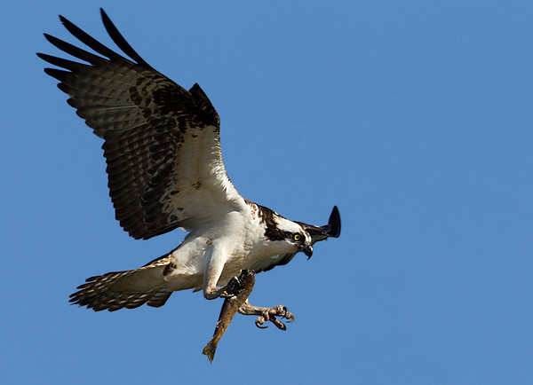 Osprey Holding Fish about to Land