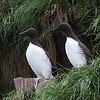 Common Murres Standing Side by Side