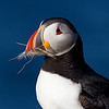 Atlantic Puffin Portrait with Dead Grass and a White Feather in Beak