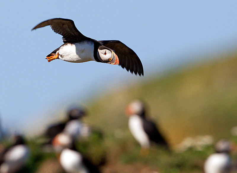Atlantic Puffin in Flight over Colony