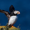 Atlantic Puffin Flapping Wings