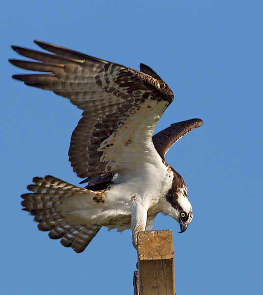 Osprey Wings Up