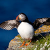 Atlantic Puffin with Wings Extended to the Side