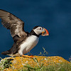 Atlantic Puffin on Lichen Rock with Wings Extended