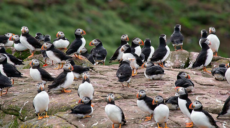 Atlantic Puffin Colony