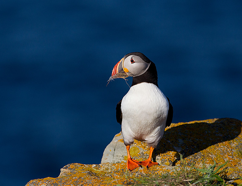 Atlantic Puffin with Dead Grass and a White Feather in Beak
