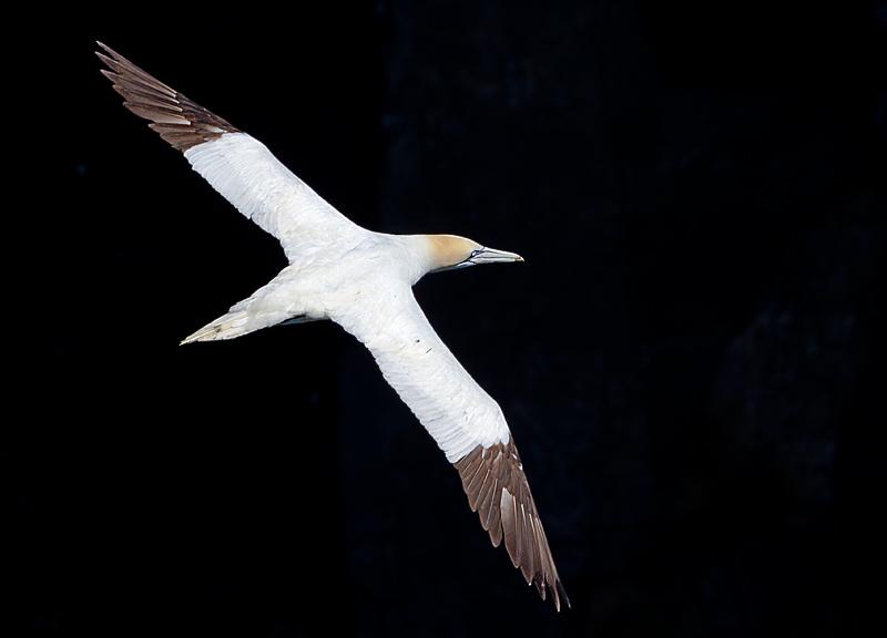 Northern Gannett in Flight Black BG