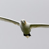 Northern Gannett in Flight