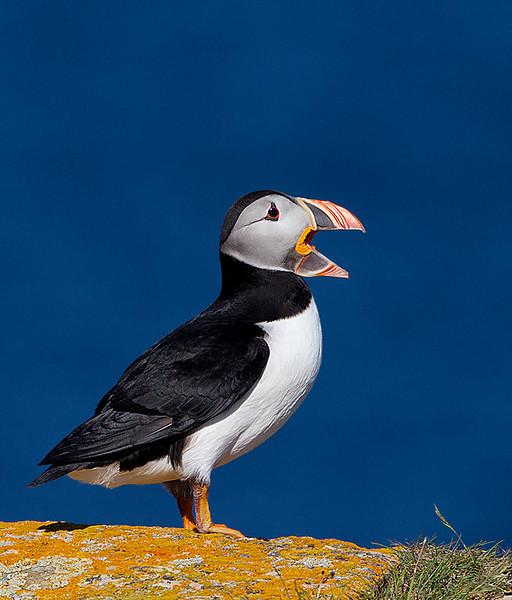 Atlantic Puffin with Beak Open