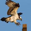 Osprey Landing Talons