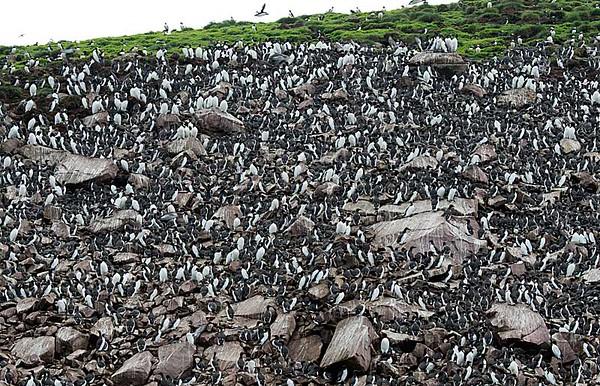 Common Murres Huge Flock