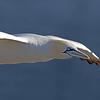 Northern Gannett in Flight Extreme Closeup