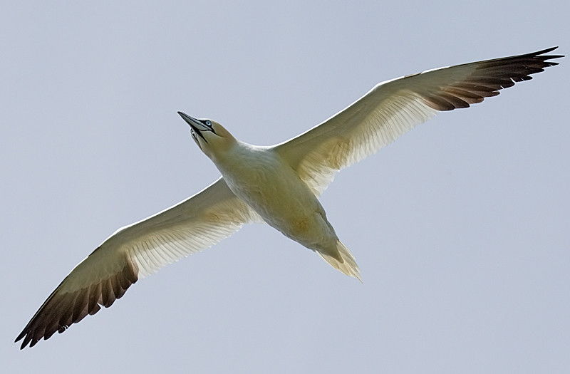 Northern Gannett Flying Overhead