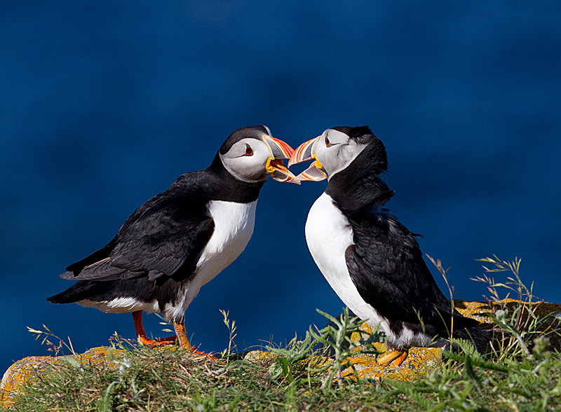 Atlantic Puffins Interacting