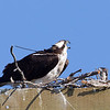 Osprey with Tracking Antenna and Chick in Nest