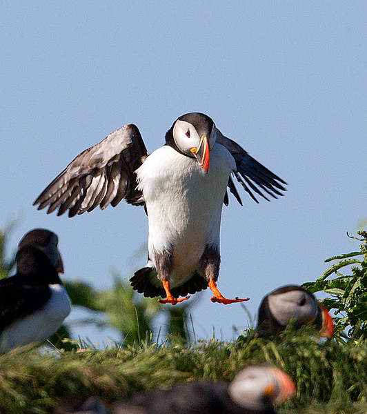 Atlantic Puffin Landing in Colony