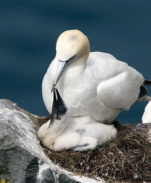 Northern Gannett Chick & Adult on Nest