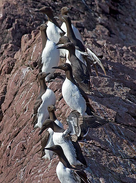 Common Murres Lined up on Ridge Line
