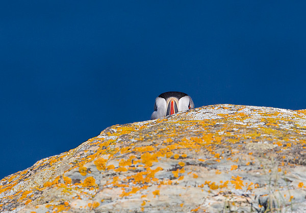 Atlantic Puffin Peeking Out from Behind Lichen Covered Rock