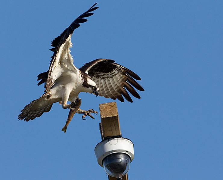 Osprey Landing with Fish on Webcam Perch