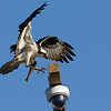 Osprey Landing with Fish on Webcam Perch